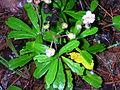 Chimaphila umbellata Superior NF 1.jpg