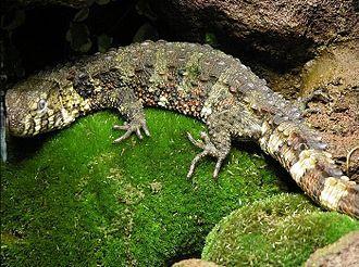 Xenosauridae - The Chinese crocodile lizard (Shinisaurus crocodilurus) was once regarded as a xenosaurid