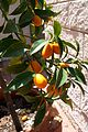 Chinese orange tree.JPG