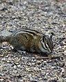 Chipmunk at Takhlakh Lake, Gifford Pinchot National Forest (23932160645).jpg