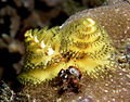 Christmas tree worm yellow.jpg