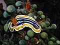 Chromodoris timor.jpg