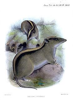 <i>Chrotomys</i> Genus of rodents