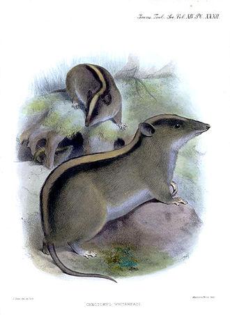 Chrotomys - Chrotomys whiteheadi