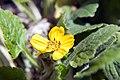 Chrysogonum virginianum var. Pierre 1zz.jpg