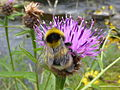 Cirsium-helenioides-with-bumblebee-1.jpg