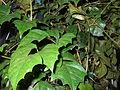 Cissus rhombifolia.jpg