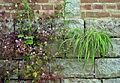 Citadelle de Lille 2013 plantes muricoles 06.JPG
