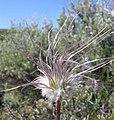 Clematis hirsutissima-6-16-04.jpg