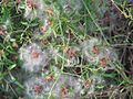 Clematis microphylla.jpg