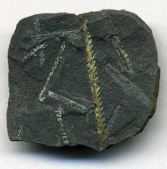 Dob's Linn - Image: Climacograptus wilsoni Graptolite Fossils from Dob's Linn Scotland