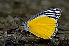 Close wing position of Male Delias agostina Hewitson, 1852 – Yellow Jezebel WLB DSC 4036.jpg