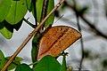 Close wing posture Tree sap Sucking of Discophora sondaica Boisduval, 1836 – Common Duffer WLB DSC 3023.jpg
