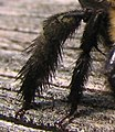 Closeup of a female carpenter bee's leg - desc-pollen spikes.jpg