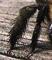 Closeup of a female carpenter bee's leg - desc-pollen spikes.jpg