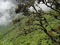 Cloud forest - Flickr - pellaea.jpg