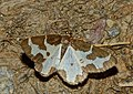 Clouded Border (Lomaspilis marginata) - Flickr - berniedup.jpg