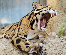 Clouded Leopard Mouth Open Cropped.jpg