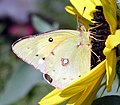 Clouded Sulfur Butterfly (246420985).jpg