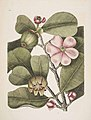 Clusia rosea botanical.jpg