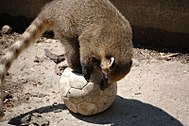 Photo of a coati on a ball