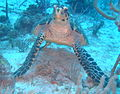 Cobblers Reef Turtle 2013.JPG