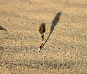 Xanthium - Image: Cocklebur Seedling West Texas 2003