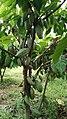 Cocoa tree 08.jpg