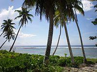 Coconut tree, Falealupo village, Samoa