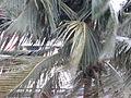 Cocotiers dans le cyclone (3271006797).jpg