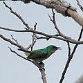 Collared Sunbird (6577719809).jpg
