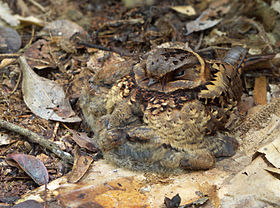 Collared nightjar (Gactornis enarratus) with two chicks, Andasibe National Park, Madagascar.jpg