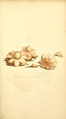 Coloured Figures of English Fungi or Mushrooms - t. 80.png