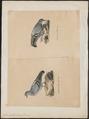 Columba livia - 1700-1880 - Print - Iconographia Zoologica - Special Collections University of Amsterdam - UBA01 IZ15600149.tif