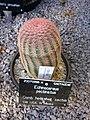 Comb hedgehog cactus - Echinocereus pectinatus.jpg