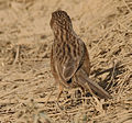 Common Babbler (Turdoides caudatus) in Hodal, Haryana W IMG 6248.jpg