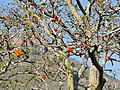 Common Coral Tree (Erythrina lysistemon) (32421686775).jpg