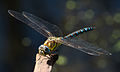 Common Hawker Dragonfly 4 (6083394016).jpg