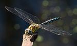 Common Hawker Dragonfly 4 (6083394016).jpg