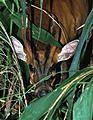 Common Muntjak (Muntiacus muntjak) (7795250760).jpg