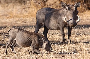 Common warthog - Female and juvenile,  Mapungubwe National Park, South Africa