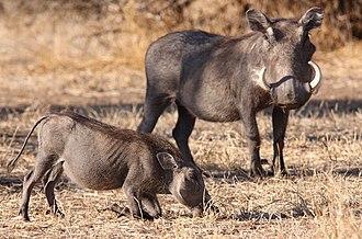 Common warthog - Female and juvenile,  Mapungubwe National Park, South Africa