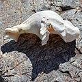 Common Whelk (Buccinum undatum) - Crow Head, Newfoundland 2019-08-15 (02).jpg