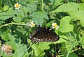 Common crow butterfly (Euploea core) at Andhra University.jpg