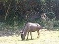 Connochaetes taurinus in Bali Safari and Marine Park.jpg