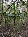 Cordyline petiolaris (tanetahi) 001.jpg