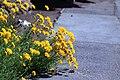 Coreopsis grandiflora MG 3234.jpg