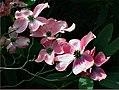 Cornus. (dogwood) Cherokee (8065560931).jpg