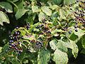 Cornus alternifolia 5506102 4x3.jpg