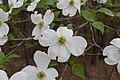 Cornus florida UMFS 3.jpg